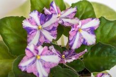 Kilauea-Saintpauliavielzahl J Eyerdom mit schönen farbigen Blumen Nahaufnahme lizenzfreies stockfoto