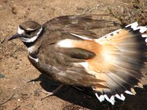 kildeer protecting its eggs Royalty Free Stock Photography