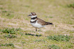 Kildeer. Wandering in a field Stock Photos