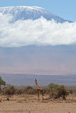 Kilimajaro und Giraffe Stockbild