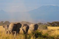 在Kilimanjaro前面的大象 免版税图库摄影