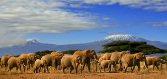 Kilimanjaro Elephants. An image of a herd of african elephants in kenya with kilimanjaro in the background Stock Photo