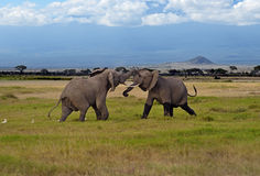 Kilimanjaro elephants Royalty Free Stock Image