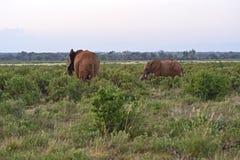 Kilimanjaro elephants Royalty Free Stock Photo