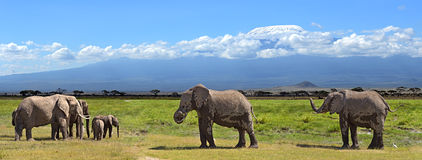 Kilimanjaro elephants Royalty Free Stock Images