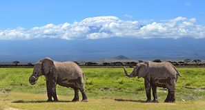 Kilimanjaro elephants Stock Photography