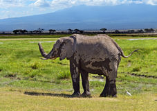 Kilimanjaro elephants Stock Photos