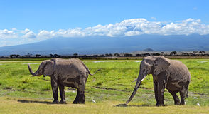 Kilimanjaro elephants Royalty Free Stock Image