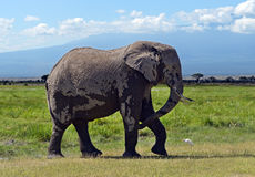 Kilimanjaro elephants Stock Image