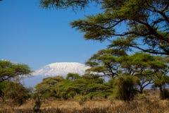 Kilimanjaro högst berg i den Afrika sikten mellan träd Arkivbild