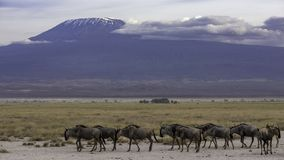 Kilimanjaro majestoso como um contexto Paisagem ideal imagem de stock