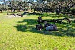 Kilimanjaro Safaris at Animal Kingdom at Walt Disney World. Orlando, Florida: December 1, 2017:  Kilimanjaro Safaris at Animal Kingdom at Walt Disney World.  The Royalty Free Stock Photo