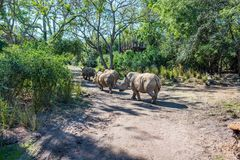Kilimanjaro Safaris at Animal Kingdom at Walt Disney World. Orlando, Florida: December 1, 2017:  Kilimanjaro Safaris at Animal Kingdom at Walt Disney World.  The Royalty Free Stock Image
