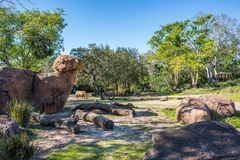 Kilimanjaro Safaris at Animal Kingdom at Walt Disney World. Orlando, Florida: December 1, 2017:  Kilimanjaro Safaris at Animal Kingdom at Walt Disney World.  The Royalty Free Stock Images