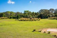 Kilimanjaro-Safaris am Tierreich bei Walt Disney World Lizenzfreie Stockfotografie