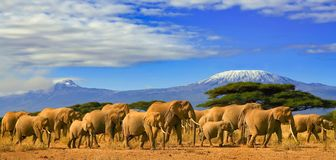 Kilimanjaro Tanzania African Elephants Safari Kenya. African elephants on a safari trip to Kenya and a snow capped Kilimanjaro mountain in Tanzania in the Royalty Free Stock Images