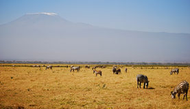 Kilimanjaro with Zebras. Open plain of Amboseli National Park with Mount Kilimanjaro in the background Stock Images