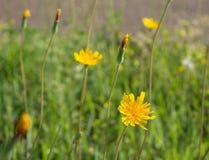 Kilka Żółci Dandelions Zdjęcie Stock