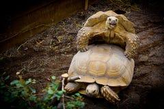 Kilka żółwie Obrazy Royalty Free