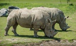 Kilka biała nosorożec Obrazy Stock