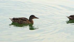 Kilka brown kaczki pływają w jeziorze na słonecznym dniu w mo zbiory wideo