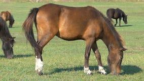 Kilka brown konie pasają trawy na zielonym gazonie w mo zbiory wideo