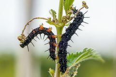 Kilka czarne gąsienicy aglais io Zdjęcia Stock