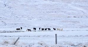 Kilka dzicy konie w krajobrazie zakrywającym z śniegiem w Iceland obrazy stock