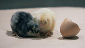 Kilka dziecko kurczaki siedzą obok each dzióbać i inny zdjęcie wideo