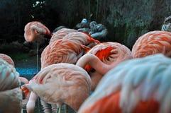 Kilka flamingi zdjęcia stock