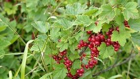 Kilka grona duże dojrzałe czerwonego rodzynku jagody zbiory wideo