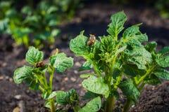Kilka Kolorado ścigi reprodukują na kartoflanym liściu przeciw tłu inne rośliny fotografia stock