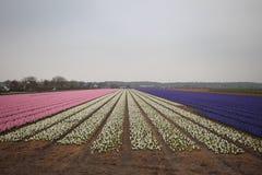 Kilka kolory hiacynty w polu w terenie Lisse clos Zdjęcia Royalty Free
