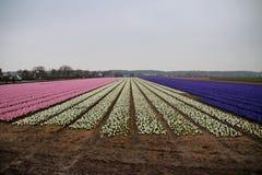 Kilka kolory hiacynty w polu w terenie Lisse clos Fotografia Royalty Free
