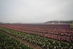 Kilka kolory hyacints w polu w terenie Lisse clos Zdjęcia Royalty Free