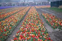 Kilka kolory tulipany w polu w terenie Lisse zakończenie Obrazy Stock