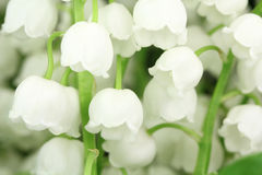 Kilka kwiatów leluja dolina Fotografia Stock