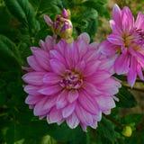 Kilka kwiaty dalia bez Obrazy Royalty Free