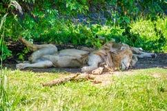 Kilka lwy śpi w zoo Fotografia Stock