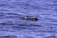 Kilka mały seagull łapie belę który unosi się w morzu Zdjęcia Stock