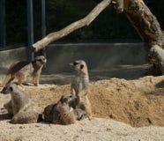 Kilka meerkats w zoo, siedzi na piasku zdjęcia stock