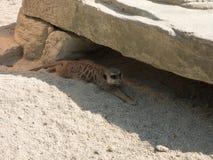 Kilka meerkats w zoo, siedzi na piasku obrazy royalty free