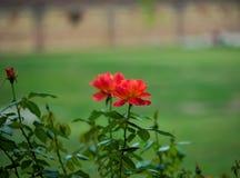 Kilka pomarańczowe róże kwitnie w zieleń ogródzie Fotografia Stock