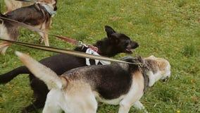 Kilka psy chodzą z rzędu na smyczu wzdłuż gazonu zbiory wideo