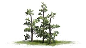 Kilka różnorodni Wschodni White Pine drzewa royalty ilustracja