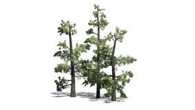 Kilka różnorodni Wschodni White Pine drzewa ilustracja wektor