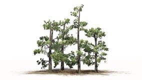 Kilka różnorodni Wschodni White Pine drzewa ilustracji