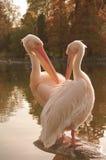 Kilka Różowi pelikany przy Luise parkiem w Mannheim, Niemcy Zdjęcia Royalty Free