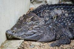 Kilka saltwater krokodyle odpoczywa w zakończeniu up obrazy stock