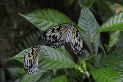 Kilka Tapetują kania motyli pomysłu Tropikalnego leuconoe obraz royalty free